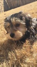 Morkie Puppy For Sale in ACWORTH, GA, USA
