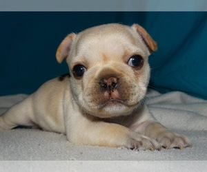 French Bulldog Puppy for Sale in VERONA, Missouri USA