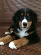 Bernese Mountain Dog Puppy for sale in MONROE, WA, USA