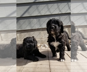 Saint Berdoodle Puppy for sale in EDEN VALLEY, MN, USA