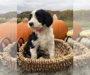 Sheepadoodle Puppy for sale in NATURAL BRG, VA, USA