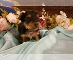 Small #8 Yorkshire Terrier