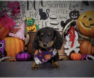 Dachshund Puppy for Sale in SPANISH SPGS, Nevada USA