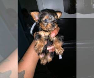 Yorkshire Terrier Puppy for Sale in JERSEY CITY, New Jersey USA