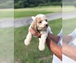 Goldendoodle Puppy For Sale in FRANKLINTON, LA, USA