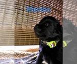 Puppy 4 Great Pyrenees-Newfoundland Mix