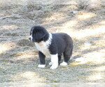 Small #2 Great Pyrenees-Tibetan Mastiff Mix