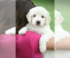 Goldendoodle Puppy for Sale in MANNS CHOICE, Pennsylvania USA