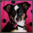 Miniature Australian Shepherd Puppy For Sale in PHOENIX, Arizona,