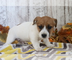 Small #3 Jack Russell Terrier-Jug Mix