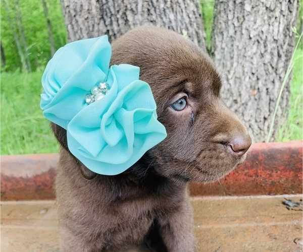 Medium Photo #6 Labrador Retriever Puppy For Sale in AVA, MO, USA