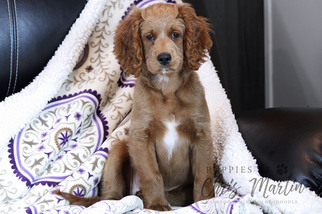 Goldendoodle (Miniature) Puppy for Sale in CLAY, Pennsylvania USA