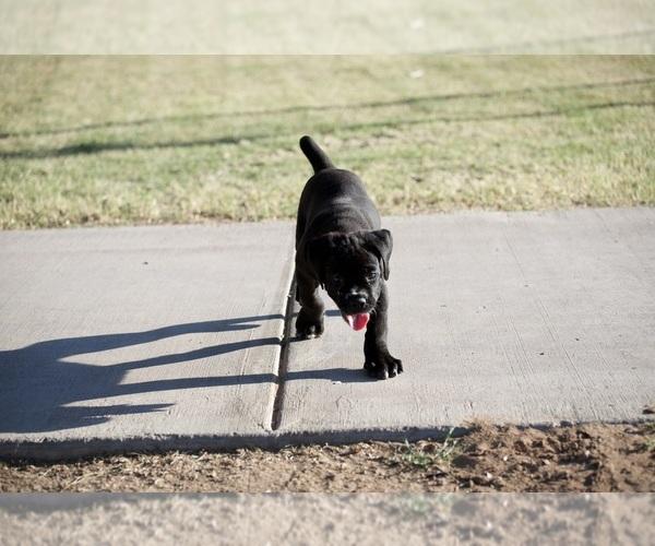 Medium Photo #2 Cane Corso Puppy For Sale in PHOENIX, AZ, USA