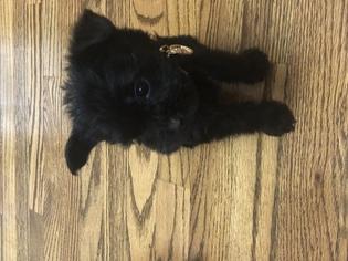 Yorkie-Poo-Yorkiepoo Mix Puppy For Sale in MURFREESBORO, TN, USA