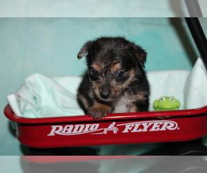 Chorkie Dog for Adoption in BASTROP, Louisiana USA
