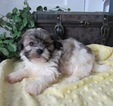 Zuchon Puppy For Sale in LE MARS, IA, USA