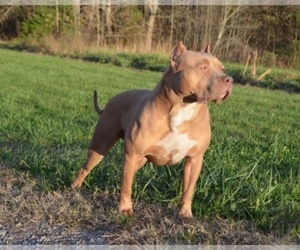 Mother of the American Bully puppies born on 02/28/2019
