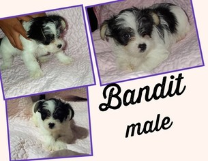 View Ad Chihuahua Yorkie Poo Mix Puppy For Sale Missouri Kansas