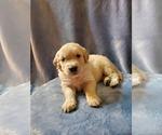 Puppy 11 Golden Retriever