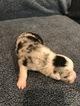Australian Shepherd Puppy For Sale in ARP, TX
