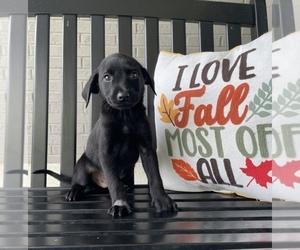 Labrador Retriever Puppy for sale in FRANKLIN, IN, USA