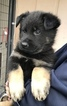 German Shepherd Dog Puppy For Sale in BUFORD, GA, USA