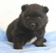 Pomeranian Puppy For Sale in HARRISON, AR,