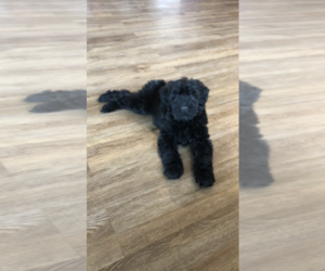 Poodle (Miniature)-Soft Coated Wheaten Terrier Mix Puppy for sale in BROOK PARK, PA, USA