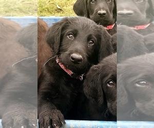 Labradoodle Puppy for Sale in REXBURG, Idaho USA