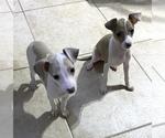 Small #11 Italian Greyhound