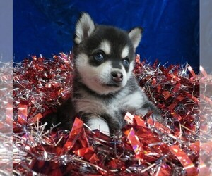 Alaskan Klee Kai Puppy for sale in NORWOOD, MO, USA