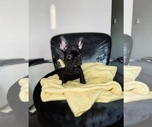 French Bulldog Dog for Adoption in HAYWARD, California USA