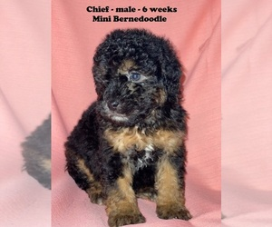 Miniature Bernedoodle Puppy for Sale in CLARKRANGE, Tennessee USA