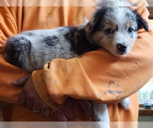 Australian Shepherd Puppy for sale in MILTON, WI, USA
