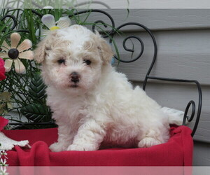 Cavachon Puppy for sale in SHILOH, OH, USA