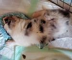 Puppy 2 Collie