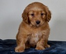 Small #1 Golden Retriever-Poodle (Toy) Mix