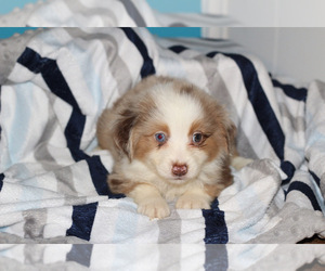 Miniature Australian Shepherd Puppy for sale in KOPPERL, TX, USA