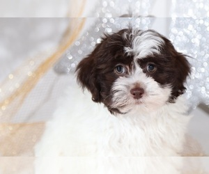 Shih-Poo Puppy for Sale in BEL AIR, Maryland USA