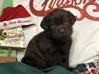 Small #27 Labrador Retriever