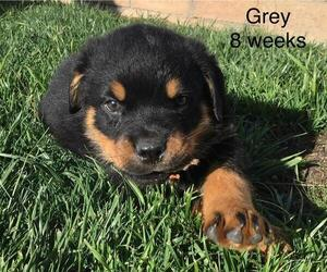Rottweiler Puppy for sale in VICTORVILLE, CA, USA