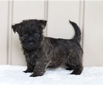 Small Photo #2 Cairn Terrier Puppy For Sale in FREDERICKSBG, OH, USA