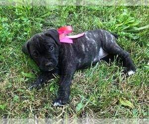 Cane Corso Dog for Adoption in WALNUT COVE, North Carolina USA