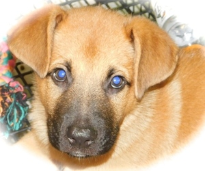 Shepradors Puppy for sale in HAMMOND, IN, USA