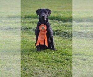 Father of the Labrador Retriever puppies born on 11/19/2020