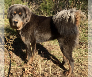 Mother of the Tibetan Mastiff puppies born on 12/19/2019