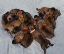 Belgian Malinois Puppy For Sale in BETHEL, Ohio,
