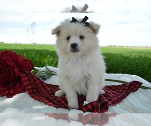 Pomsky Dog for Adoption in HONEY BROOK, Pennsylvania USA