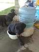Labrador Retriever Puppy For Sale in PHOENIX, AZ,