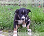 Puppy 4 Australian Cattle Dog-Border Collie Mix